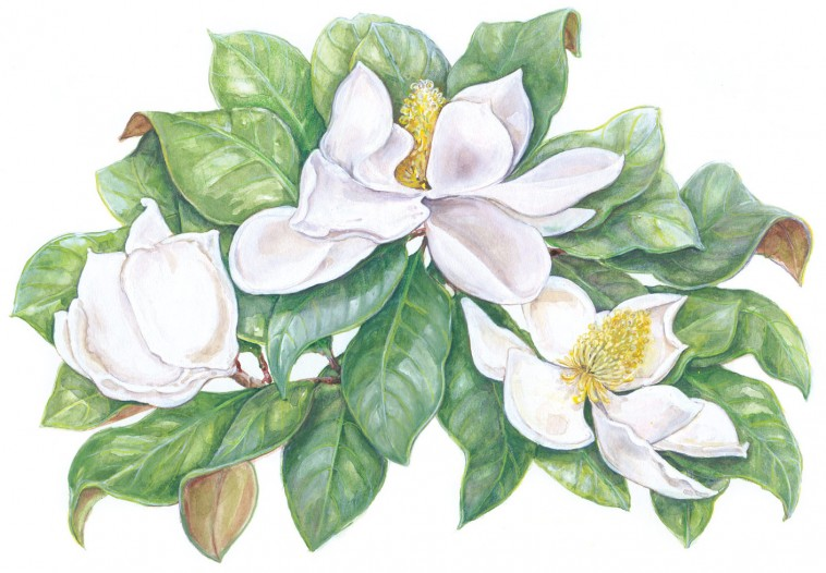 SL-Magnolia-2
