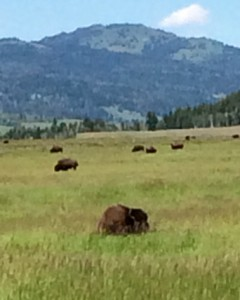Photo of bison in Montana