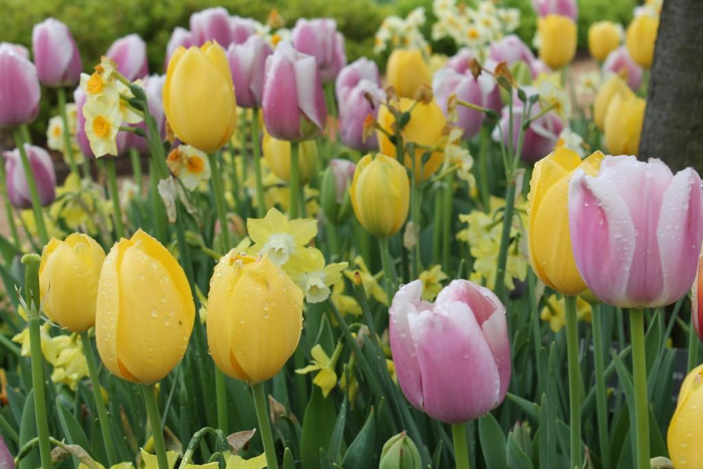PaulJCiener_Tulips001