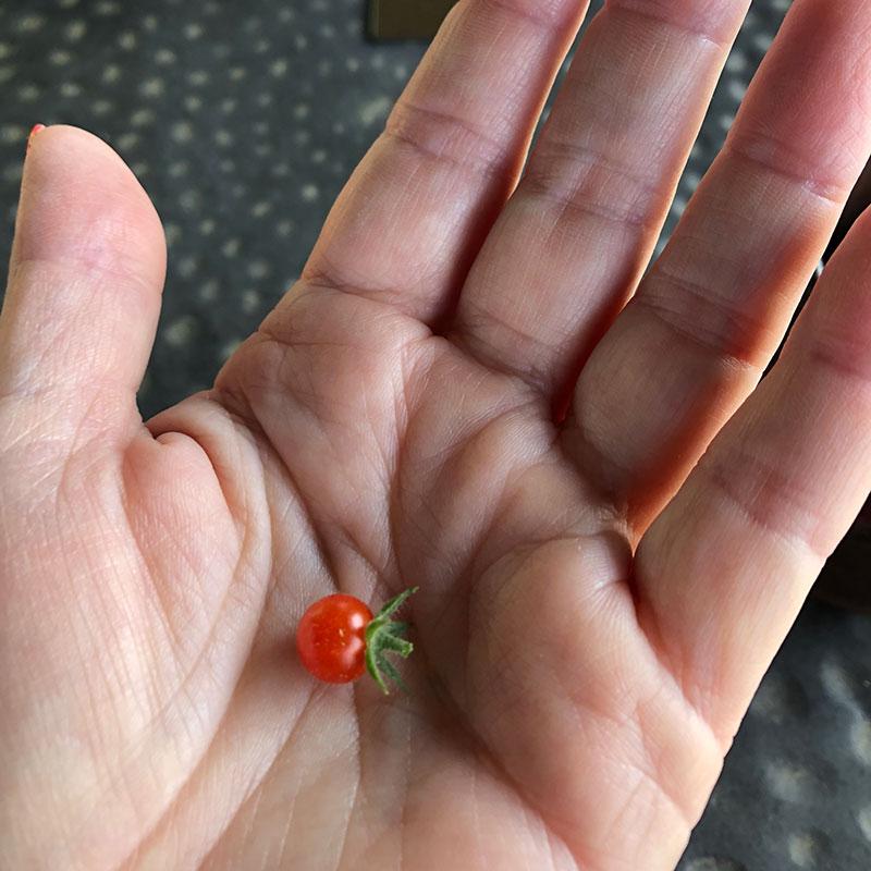 Cades Cove Currant tomato